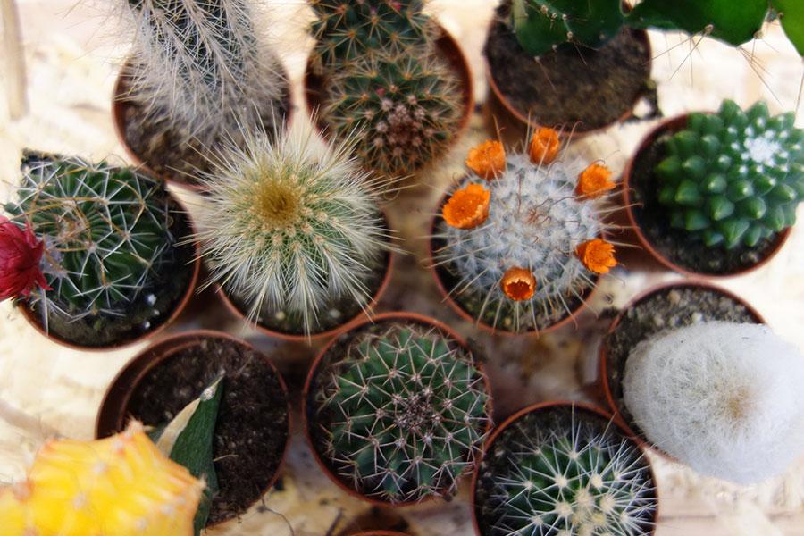 Kleine cactussen kopen bij Osdorp in Amsterdam?